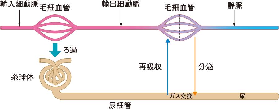 腎臓の毛細血管の特徴