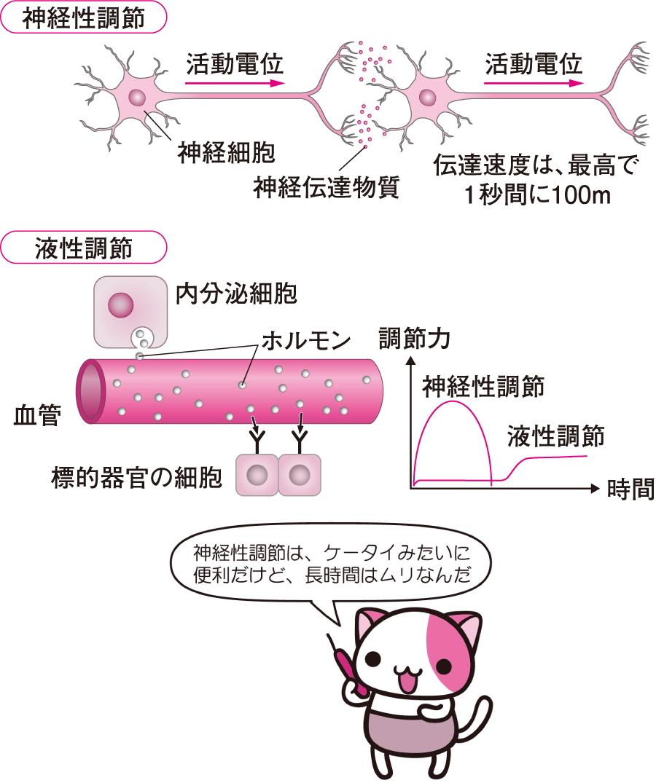 Images of オピオイドペプチド - JapaneseClass.jp