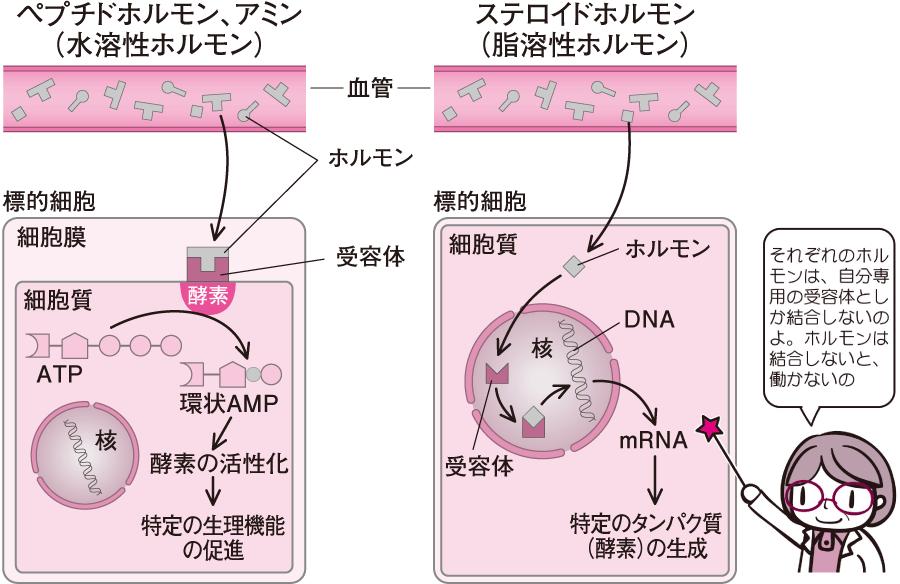 水溶性ホルモンと脂溶性ホルモン