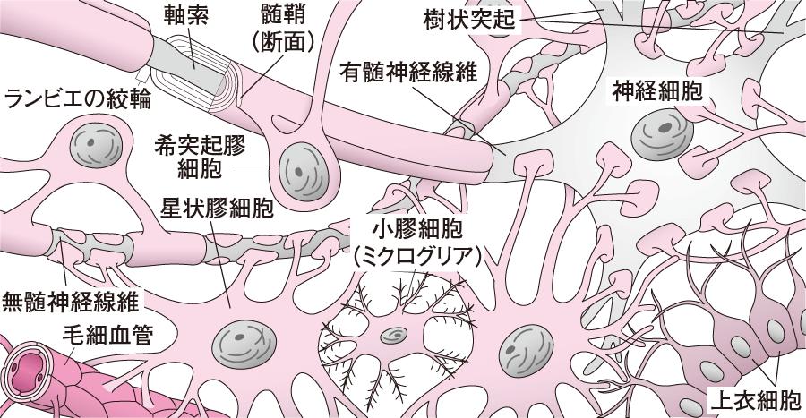 さまざまなグリア細胞