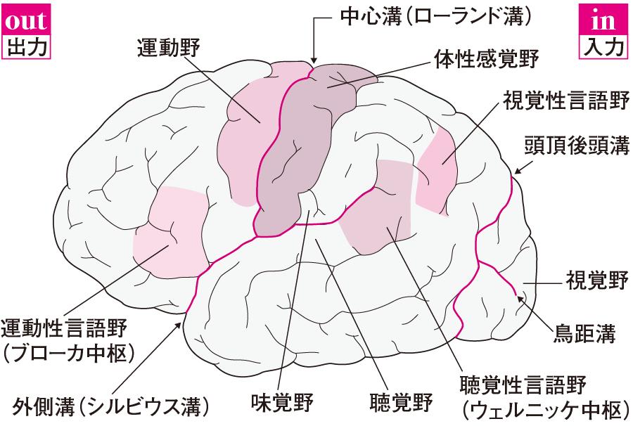 大脳皮質にある機能局在