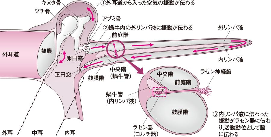 音の伝導(蝸牛を伸ばした状態)