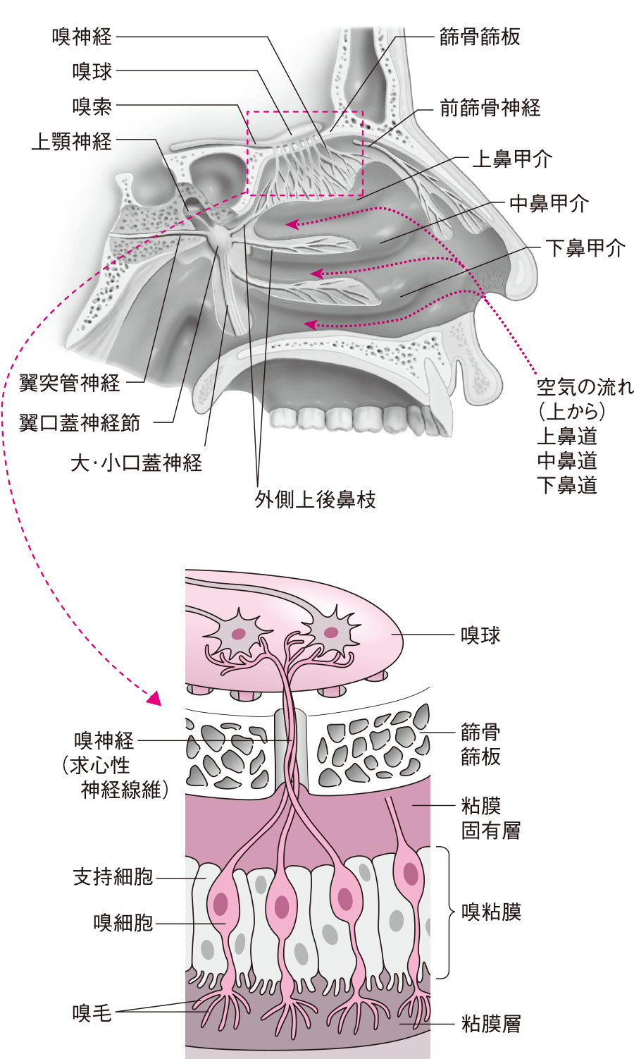 鼻腔の内部構造