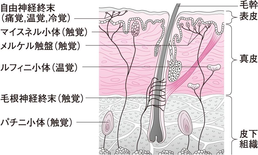 皮膚の感覚受容器