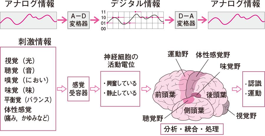 感覚受容器はAD交換器