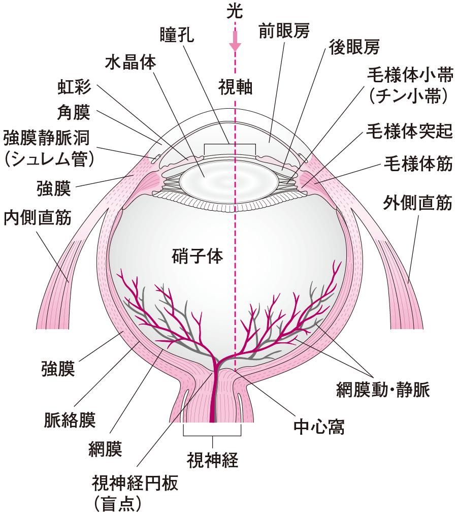 イノシシ 瞳孔
