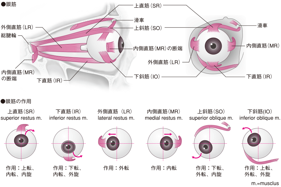 外眼筋とその作用
