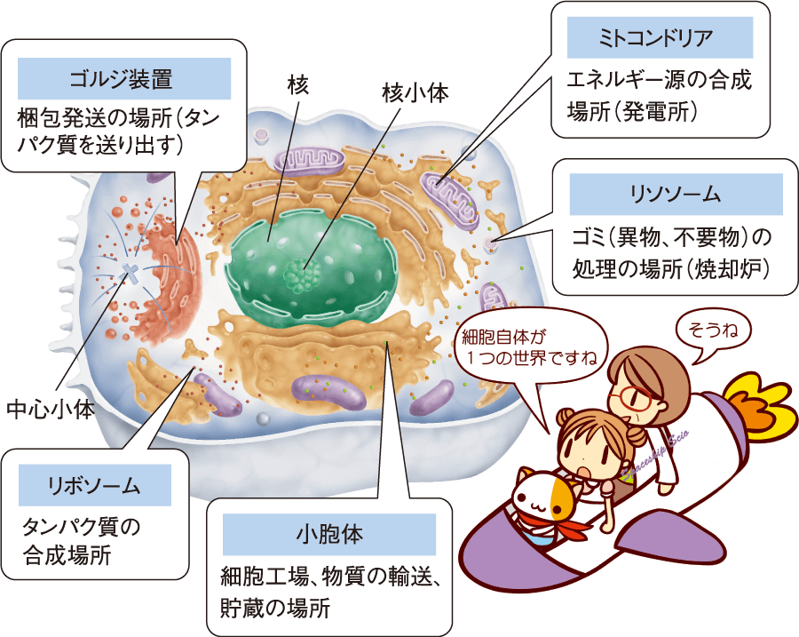 細胞ってなんだ(4)発電所-ミトコンドリア・ゴミ処分場-リソソーム