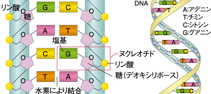DNAの基本構造