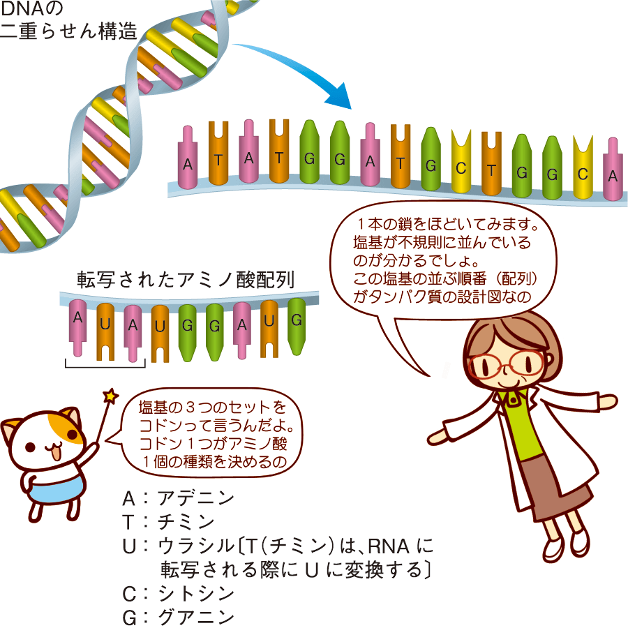 アミノ酸の配列