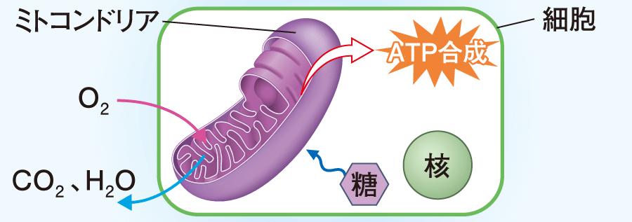 ミトコンドリアでのATPの合成