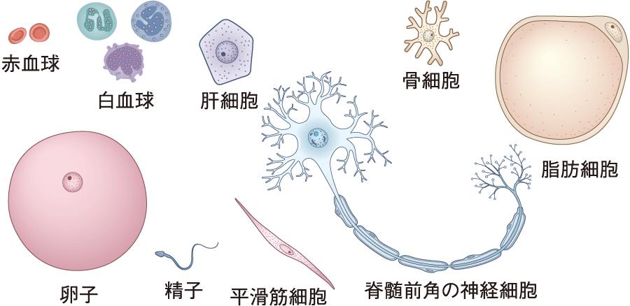 細胞の種類