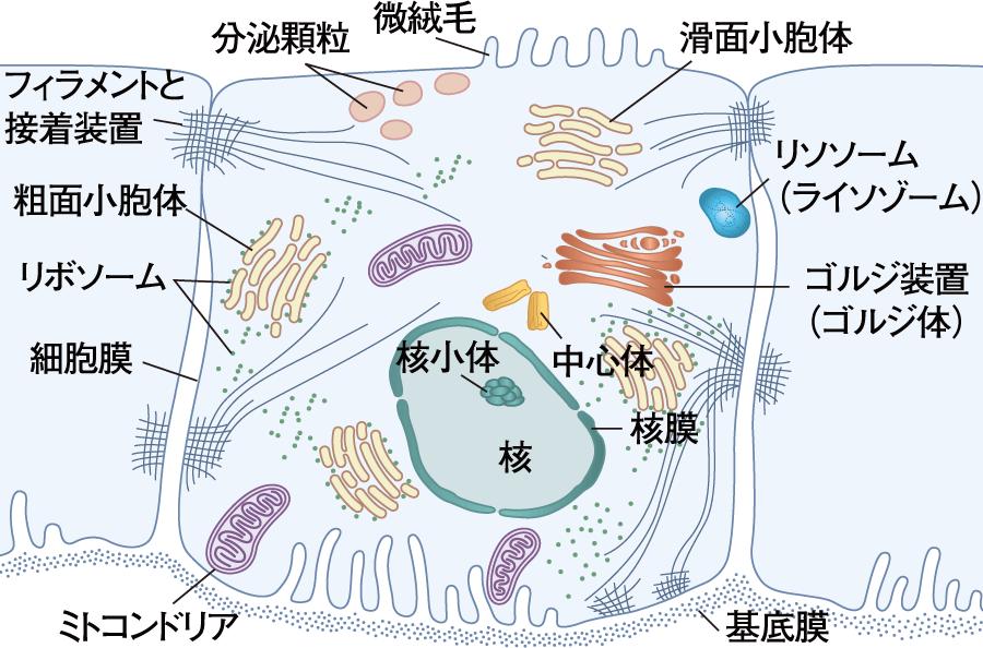 細胞の基本的な構造(平面)