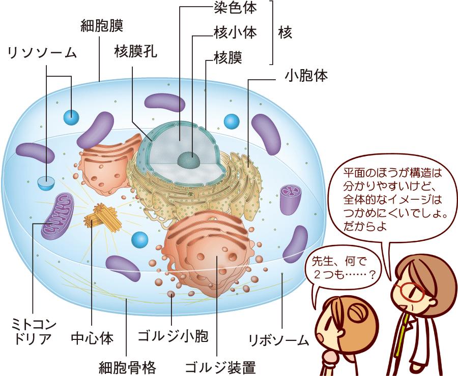 細胞の基本的な構造(立体)
