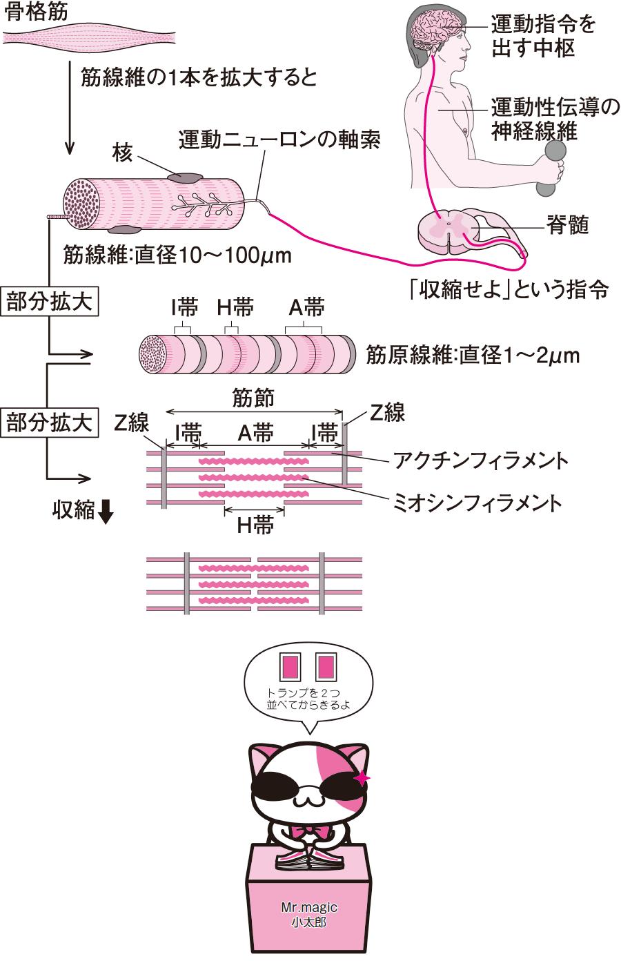 筋収縮の仕組み