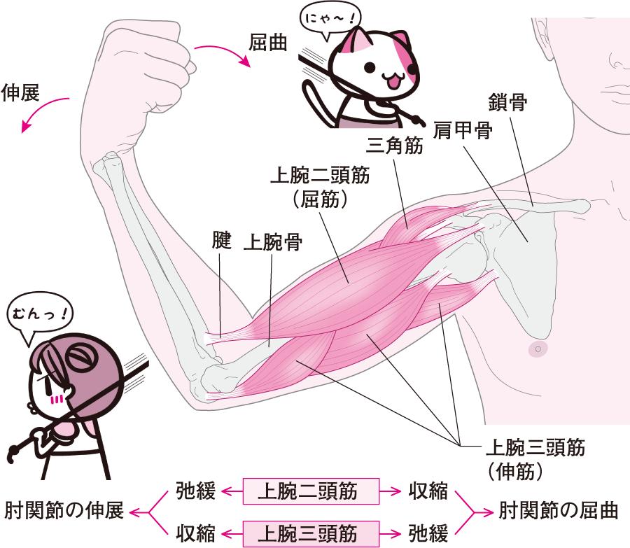 肘関節の屈伸運動とその仕組み