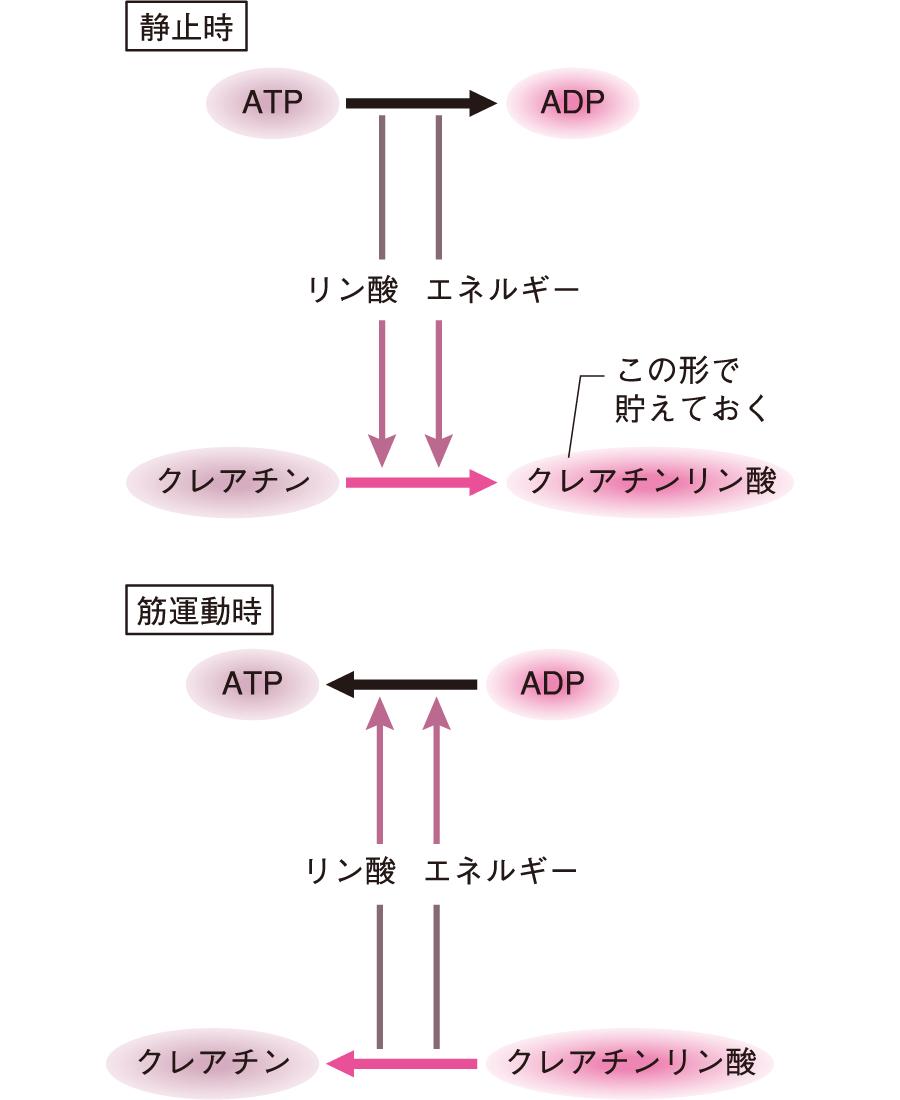 ATPの生成と消費されるプロセス