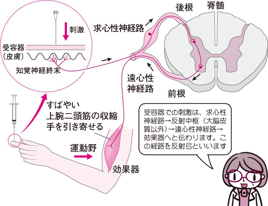 脊髄反射の経路