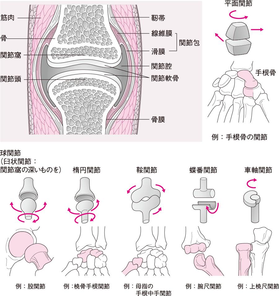 関節と関節の種類(関節頭と関節窩の形による分類)