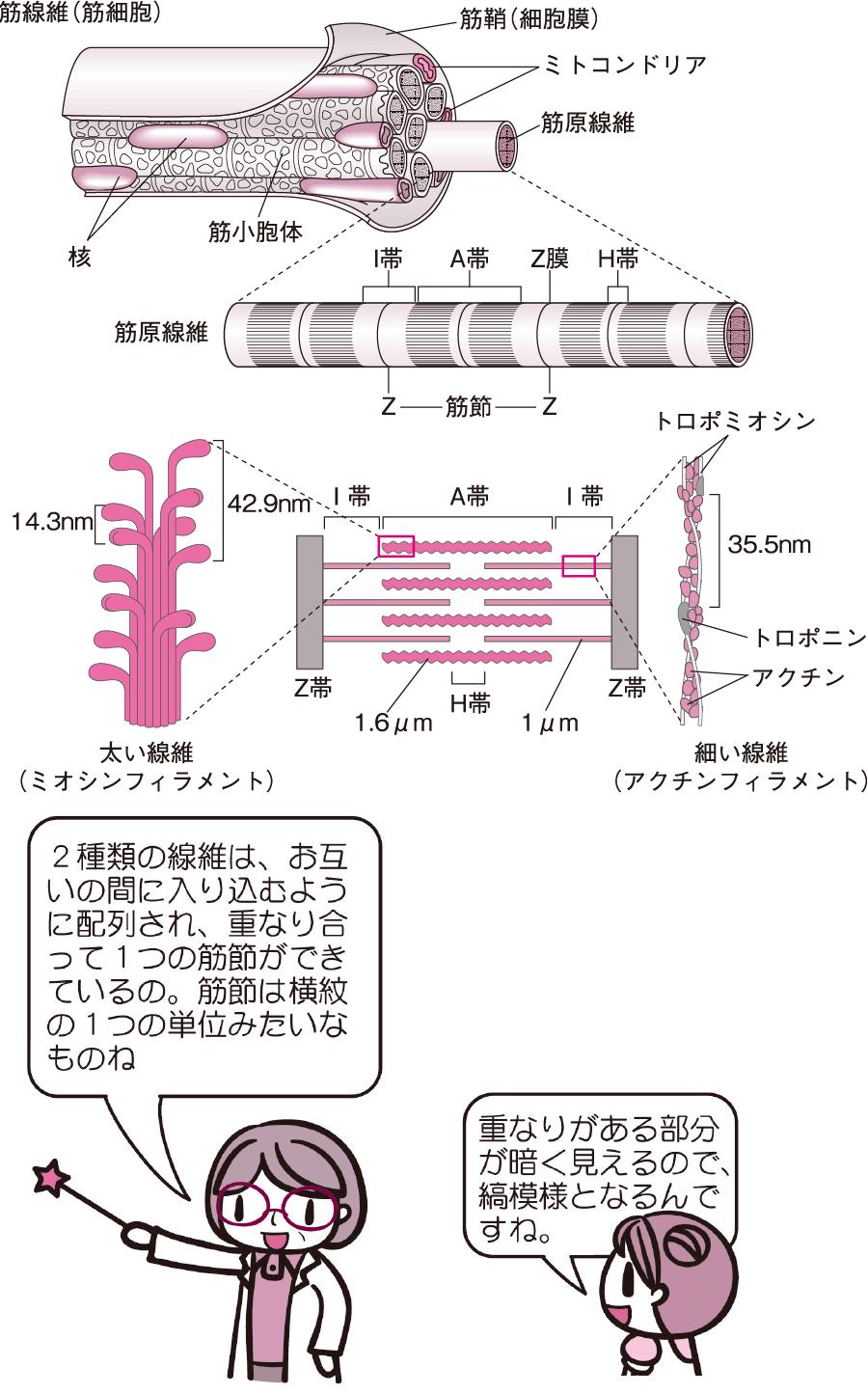 骨格筋の微細構造