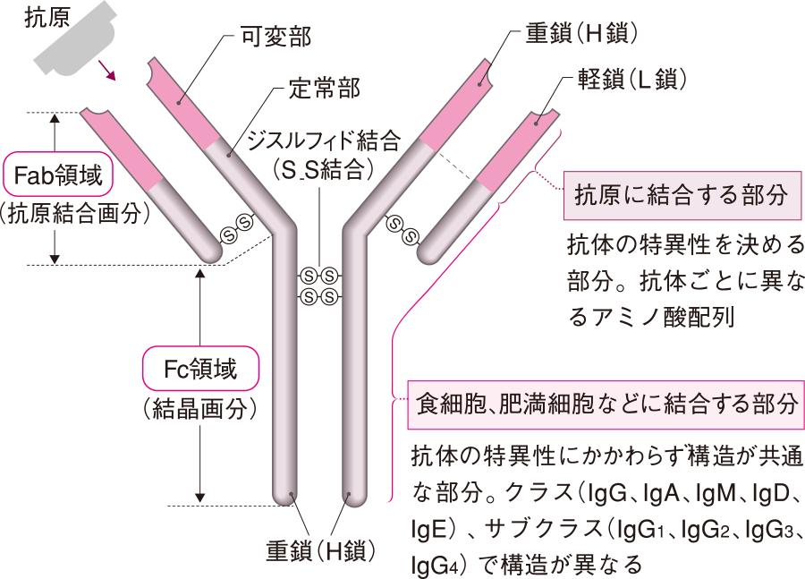 抗体の基本構造