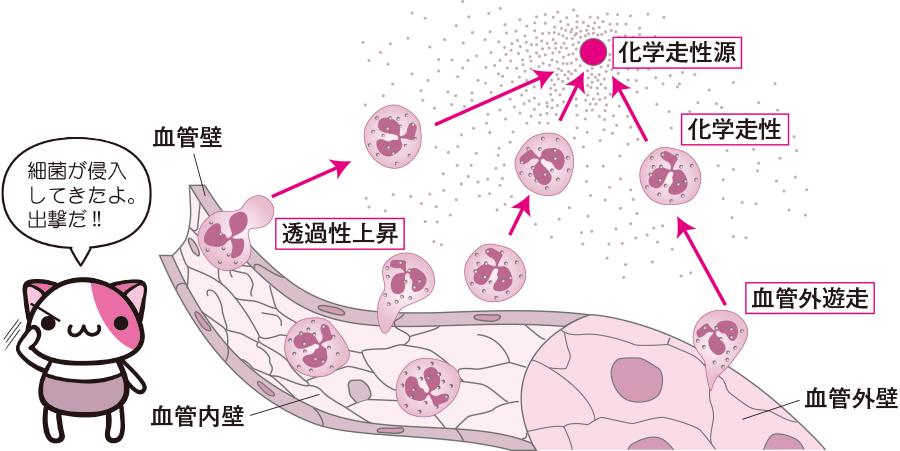 白血球の血管外遊出