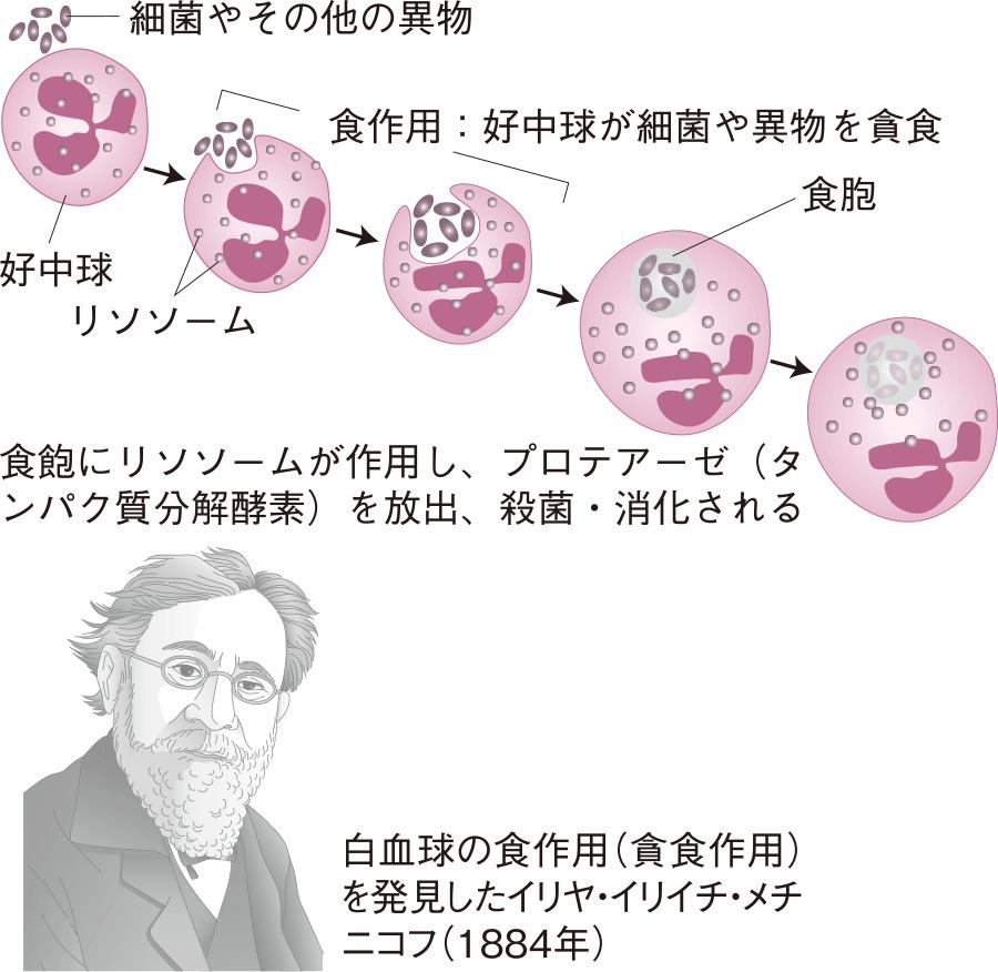 白血球の食作用