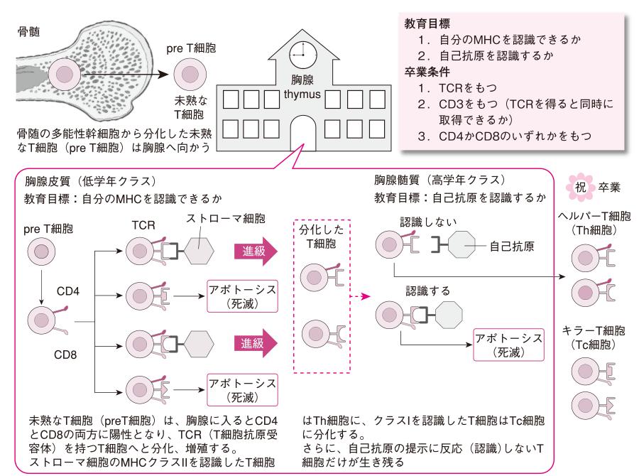 胸腺の役割