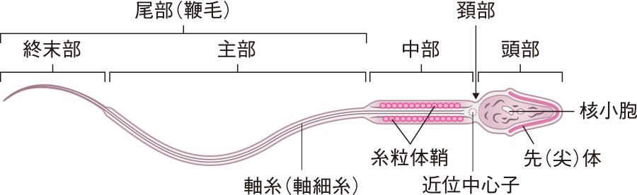 精子の構造
