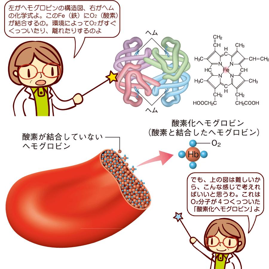 赤血球の構造