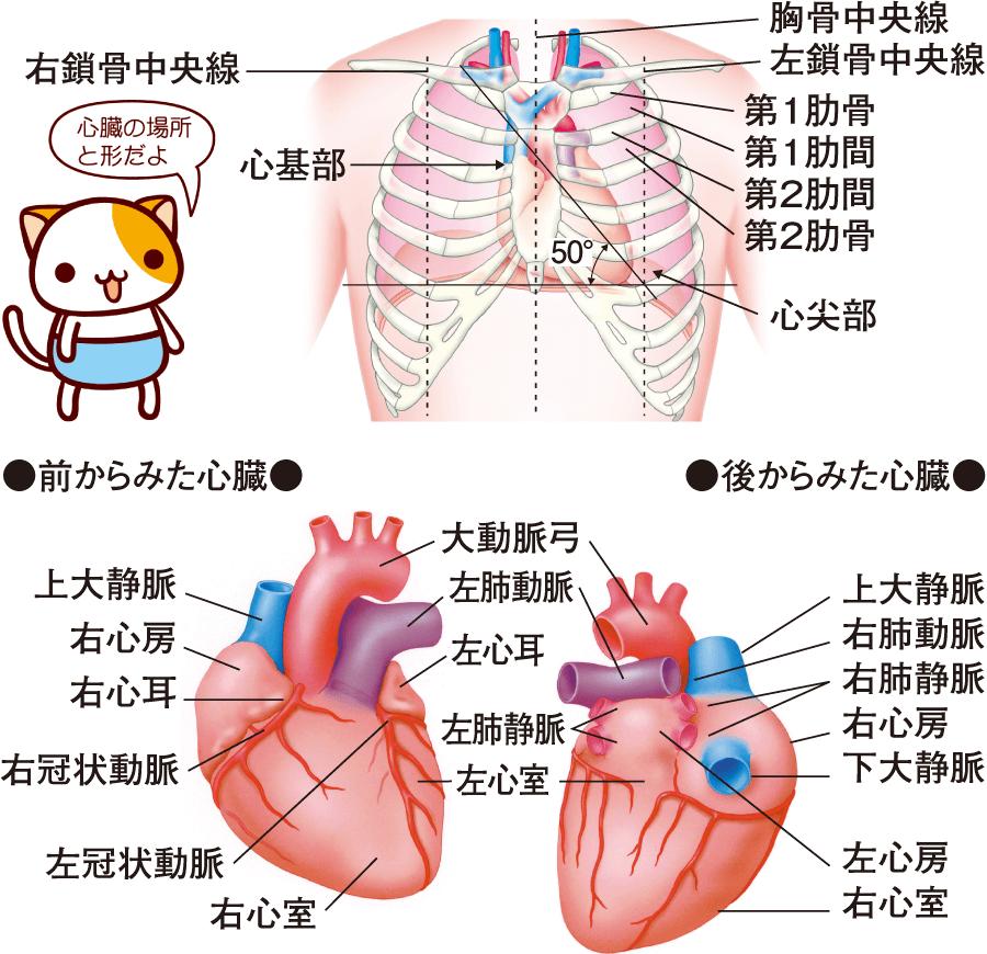 心臓の位置と概観