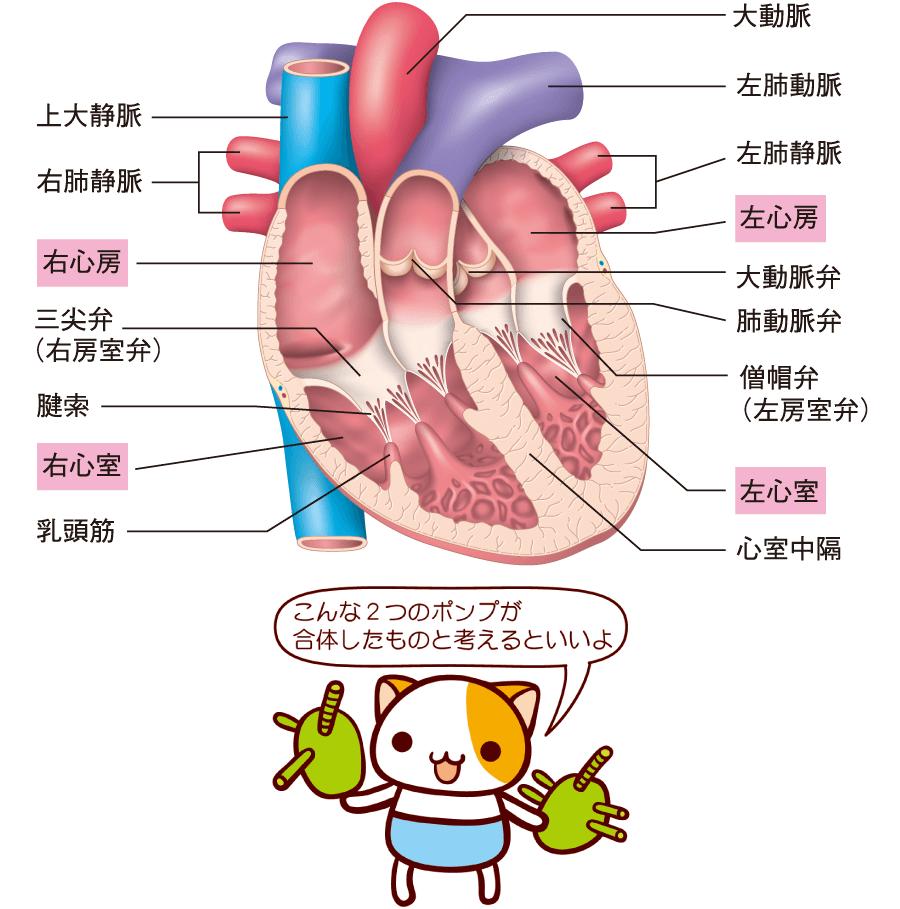 心臓の内腔