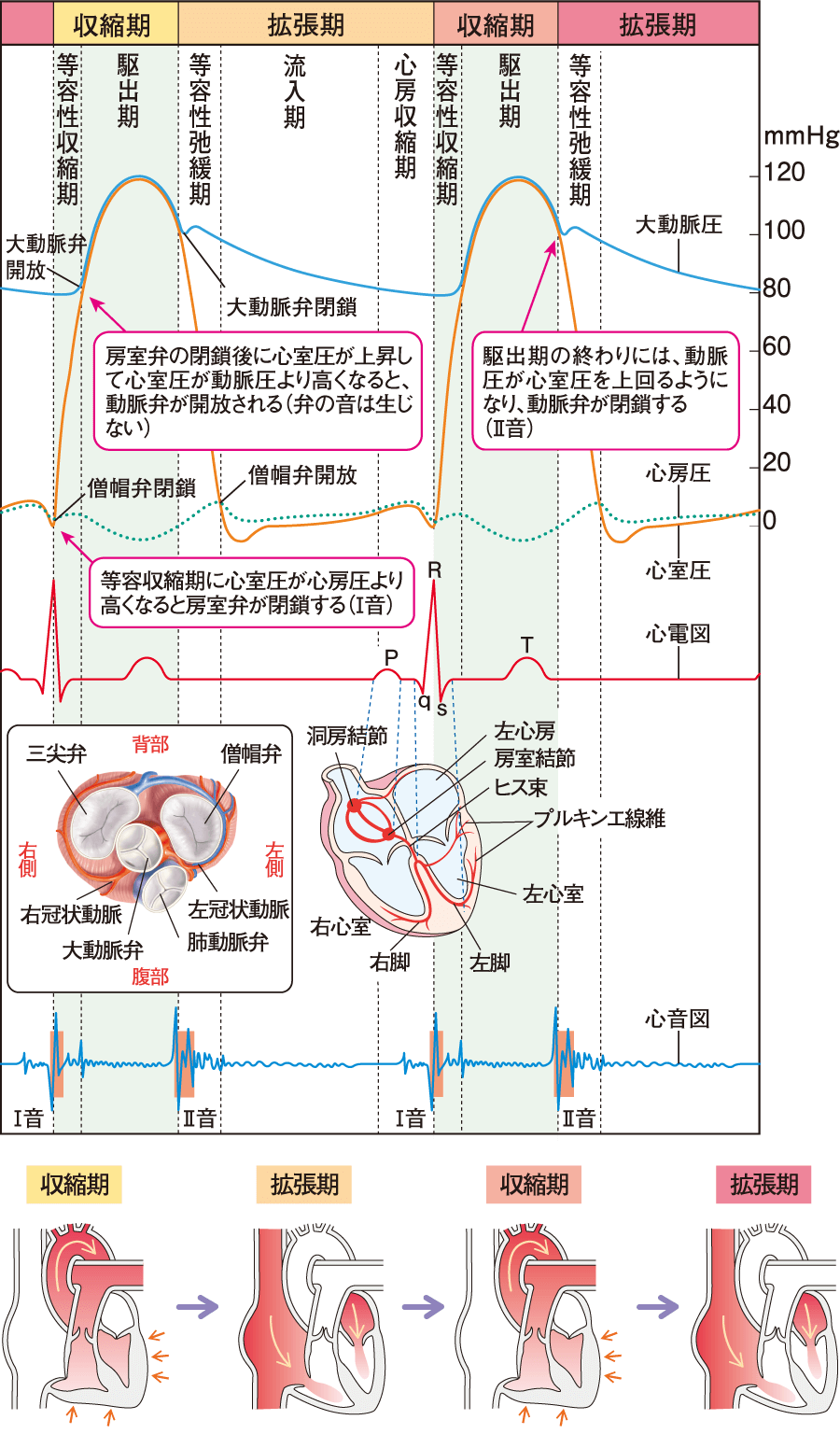 心音の発生