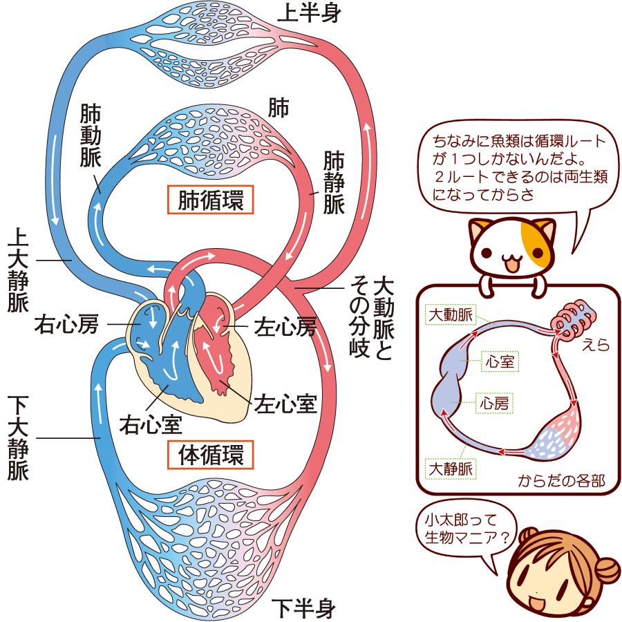 全身の血液循環