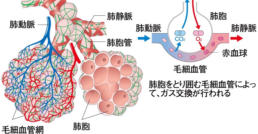 肺胞の血管