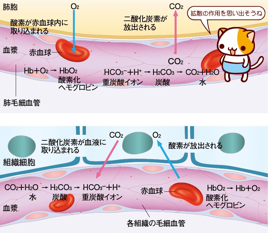 肺胞と細胞でのガス交換