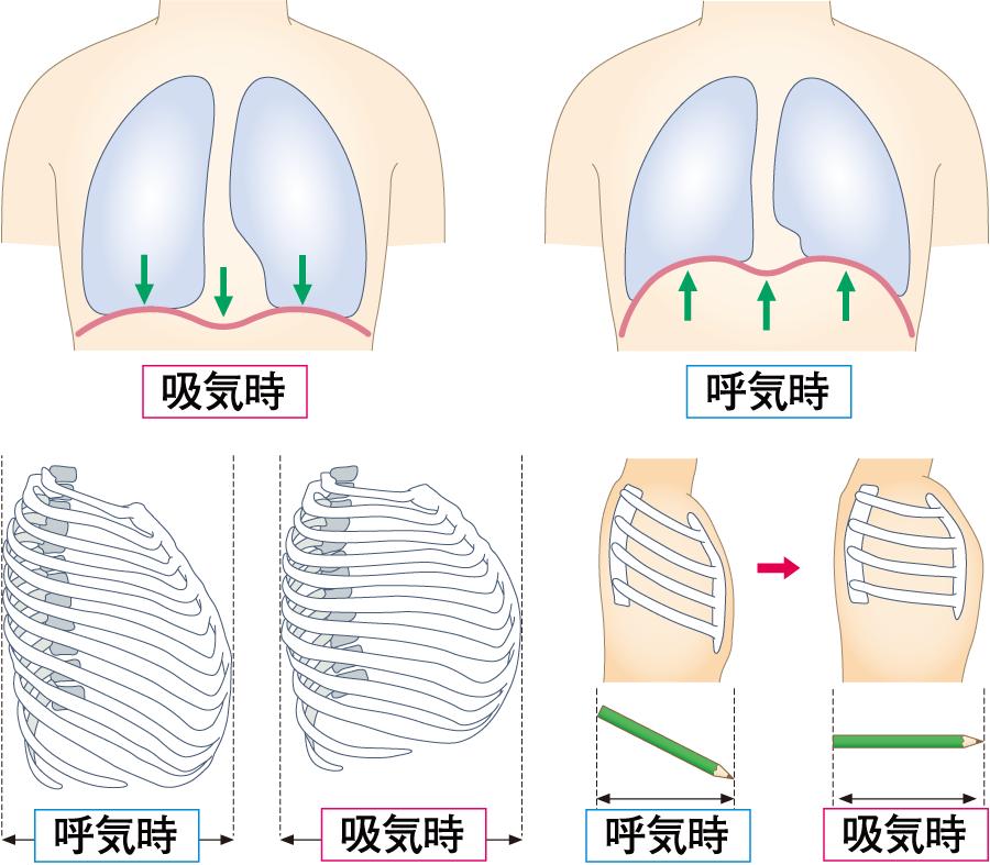 呼吸のメカニズム