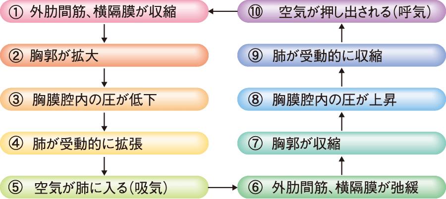 肺の呼吸運動の順序