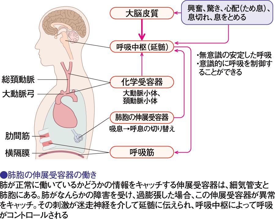 呼吸中枢の働き