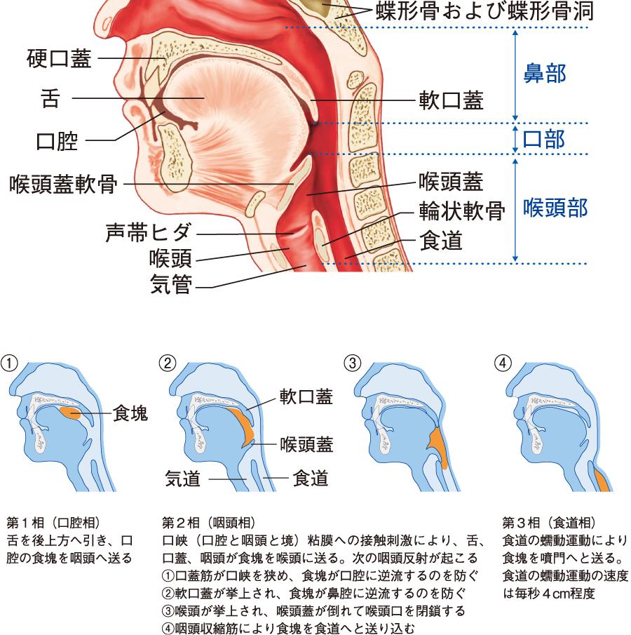 咽頭と喉頭