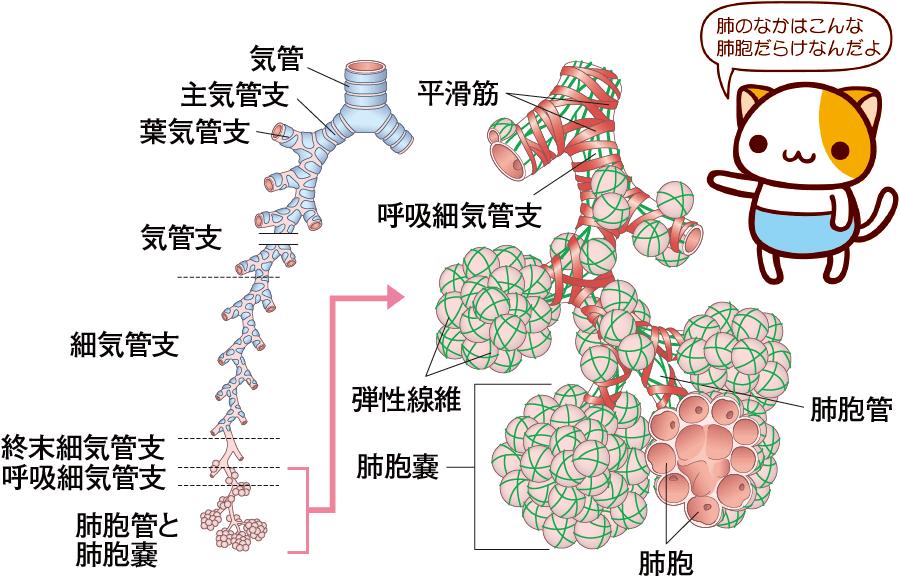気管支と肺胞