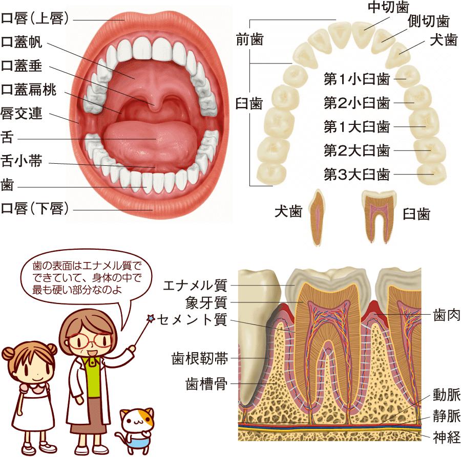 口腔内の構造