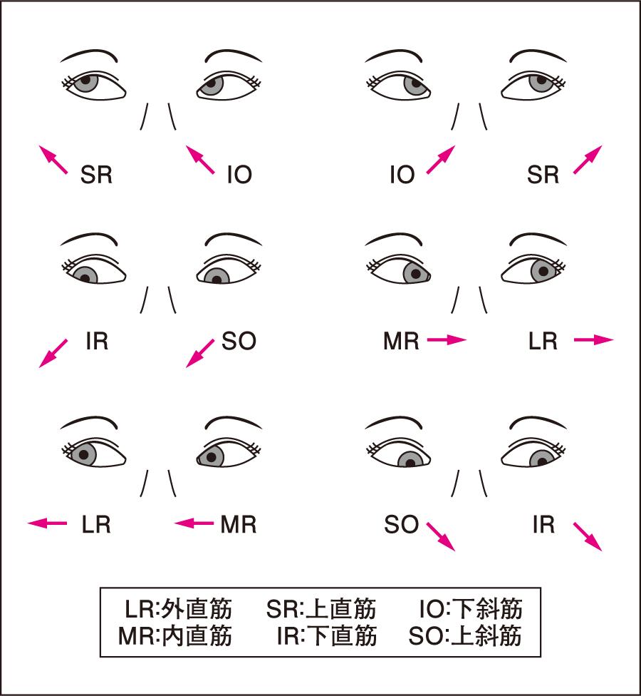 向き運動と眼筋