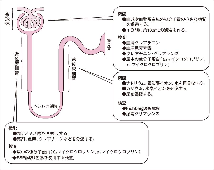生化学検査(腎機能)|看護roo![カンゴルー]