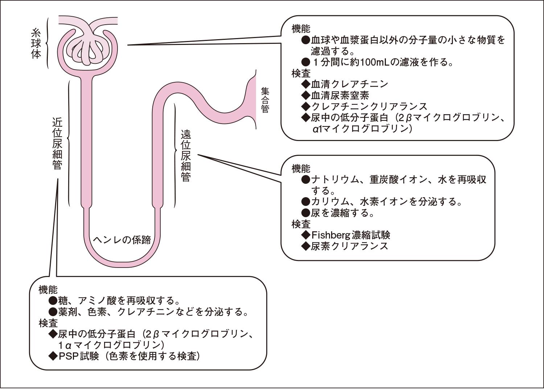 腎臓の各部位の機能と検査