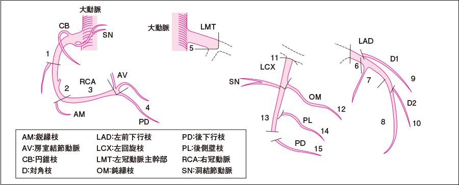 冠動脈分枝の名称(AHAによる分類)