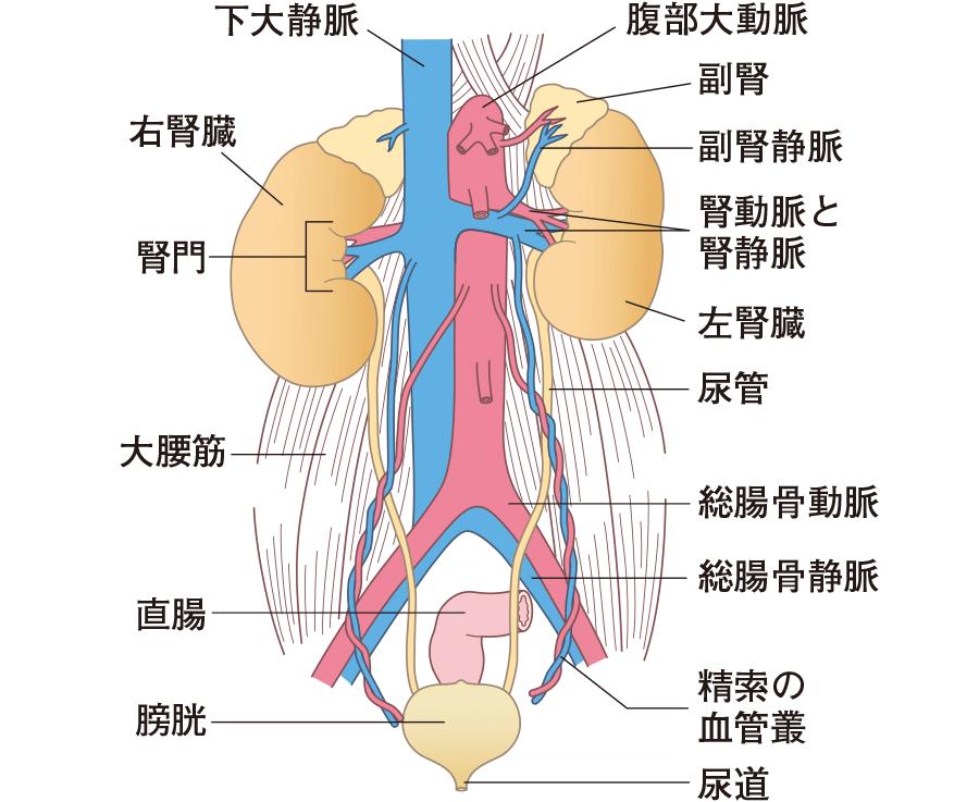 尿の排泄経路