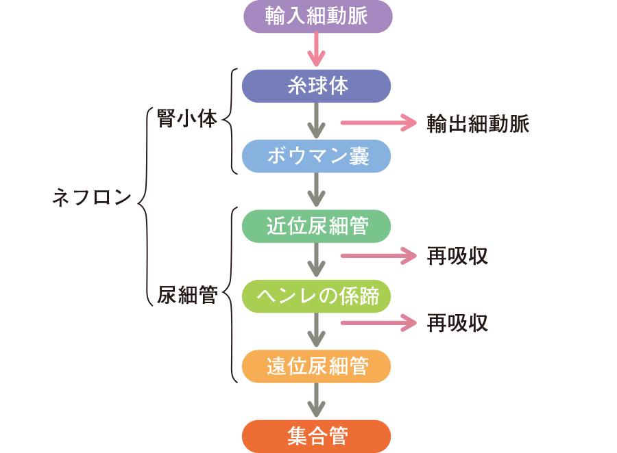 尿の生成過程