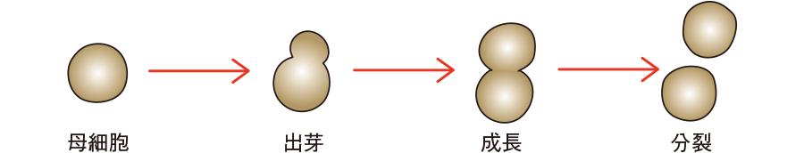 酵母様真菌の形態と増殖形式