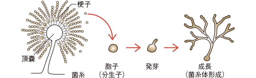 糸状菌の形態と増殖形式